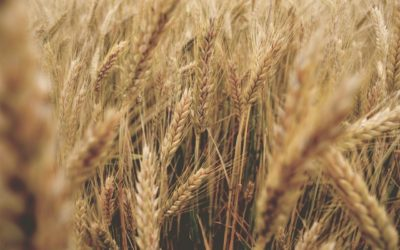 Krankmacher Weizen: Wenn der Magen verrücktspielt
